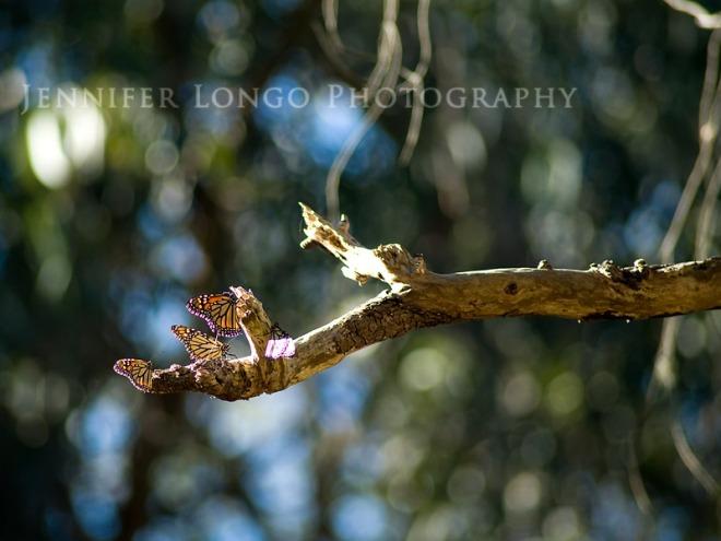 Santa Cruz, CA Monarch Butterfly Trail